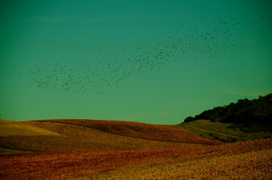 Starlings & Grapes
